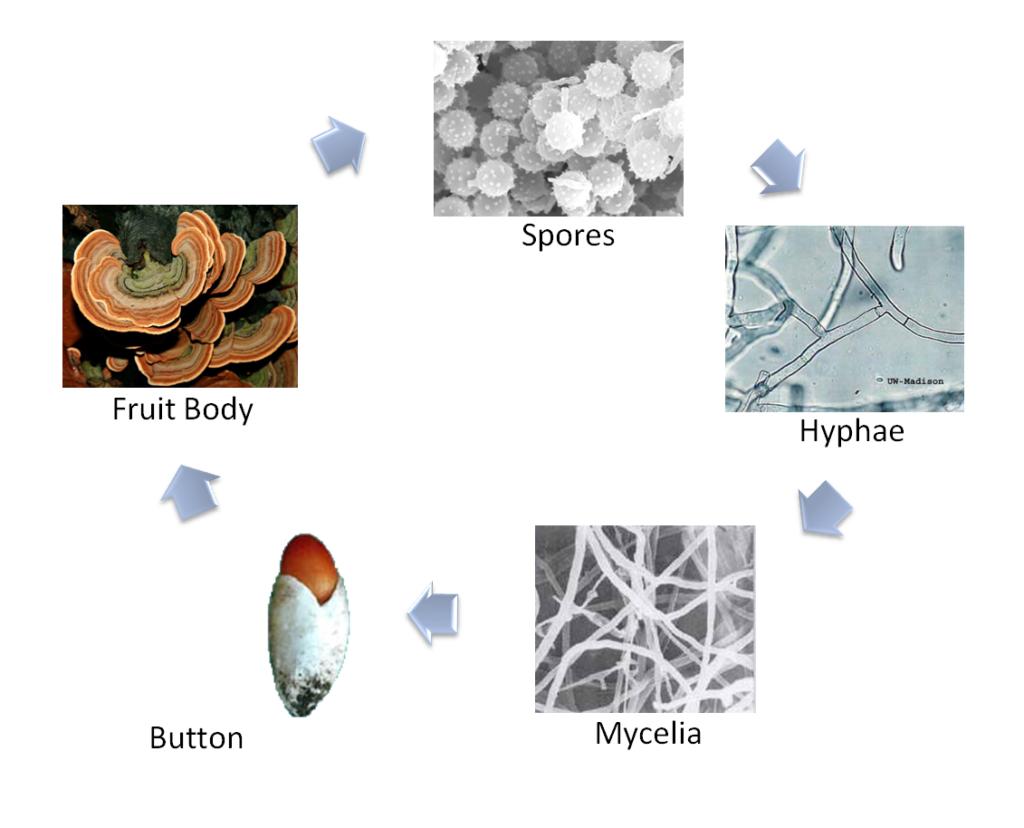 mushroom lifecycle or fungi lifecycle